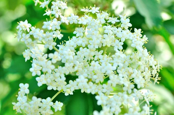 開花期:4~5月 分類:落葉高木 樹高:3~10m エルダーフラワー(西洋ニワトコ)の特徴 エルダーフラワー(西洋ニワトコ)は春に枝いっぱいに真白な花を咲かせる落葉高木です。エルダーフラワー(西洋ニワトコ)の花には爽やかな芳香があります。ハーブとしても有名です。
