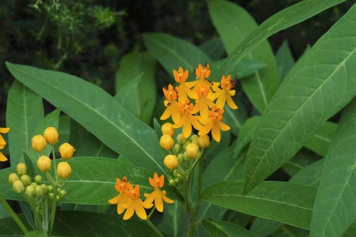 科名:キョウチクトウ科 開花期:6~9月 分類:一年草、多年草 アスクレピアスは夏の間オレンジ色や赤の鮮やかな花を咲かせるキョウチクトウ科の草花です。
