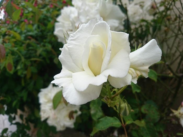 開花期:4~5月(9~10月、四季咲き) 分類:落葉低木 樹高:1~3m バラの特徴 バラは花の女王とも讃えられるほど、美しく存在感のある花です。花色、咲き方、共にバリエーションが豊富なバラ。中でも真白なバラは一際目を惹きます。  バラは4~5月に開花した後、上手に剪定を行えば7月頃にもう一度花を咲かせてくれます。他にも四季咲き性や秋にもう一度咲く品種もあります。