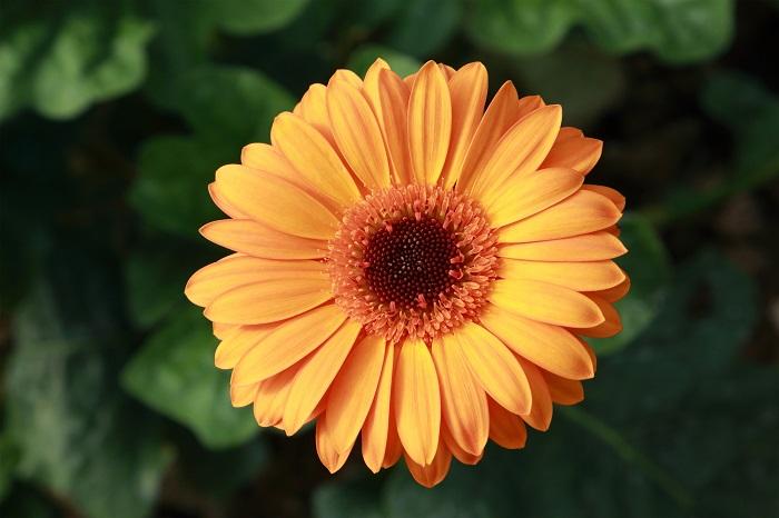科名:キク科 開花期:4~6月 分類:多年草 ガーベラはすっとした茎の上に花びらを太陽のように広げた花を咲かせるキク科の多年草です。花色、咲き方共にバリエーションが豊富な花です。