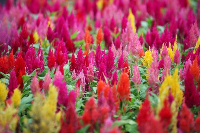 科名:ヒユ科 開花期:7~11月 分類:一年草 ケイトウは花がニワトリのトサカに似ているということから鶏頭(ケイトウ)という名前がついたそうです。色鮮やかな花が夏から秋の花壇を彩ります。