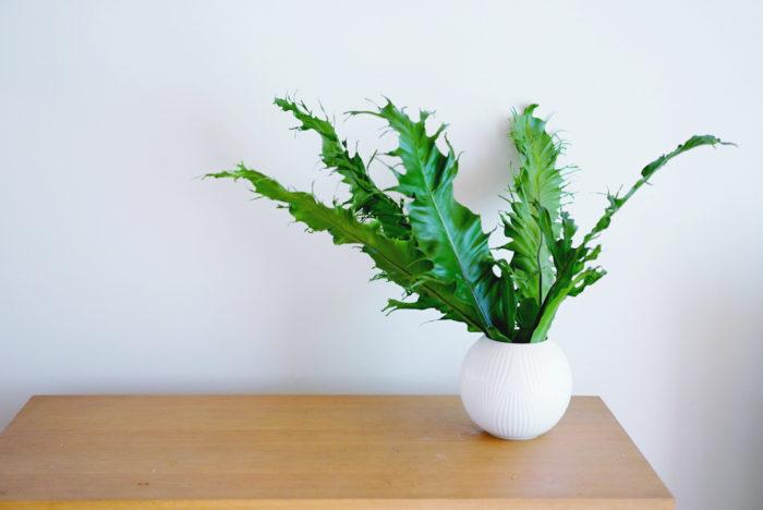 タニワタリは、とても長持ちのシダ系の植物。日本だと沖縄で目にする機会が多いですね。自然にできるウェーブが美しいのですが、今回の仕入れでは、葉先がギザギザした珍しいタニワタリに出会えて一目惚れ。真っ先に手を伸ばしてしまいました。