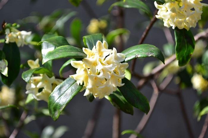 開花期:3~4月 分類:常緑低木 樹高:1~1.5m 沈丁花(ジンチョウゲ)の特徴 沈丁花(ジンチョウゲ)はジンチョウゲ科の常緑低木で、春先に小さな花が毬のような塊になって枝先に咲きます。花が白い品種を「シロバナジンチョウゲ」と言います。とても香りが強い花で、三大香木のひとつです。
