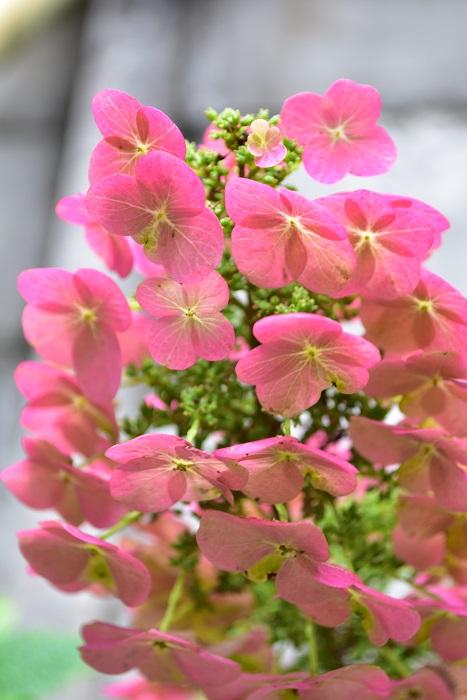 カシワバアジサイもアジサイと同じく旧枝咲きのアジサイのため、7月の梅雨明け頃くらいまでには剪定が必要です。