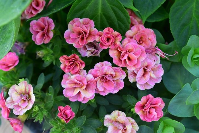 人間も夏バテしやすい真夏。長くたくさんの花を咲かせる草花への肥料やりは大切な庭仕事ですが、弱っている植物は水や肥料を吸い上げる力が弱まっているので、濃い肥料を与えるのは逆効果となり根が弱ってしまう可能性があります。いつもより薄めの液肥を様子を見ながら与えましょう。