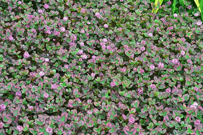 グランドカバーは庭や花壇、通路の土がむきだしになっているスペースを埋めてくれる植物。グランドカバーを上手に取り入れると、夏の雑草防止になったり見た目の植栽のレベルもぐんとアップします。
