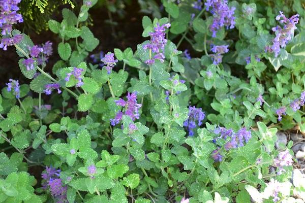 開花期間の長い草花は花後早めに切り戻しを行うと、すぐに次の花が楽しめます。切り戻しを行うことで枝分かれして花数も増えるというメリットもあります。
