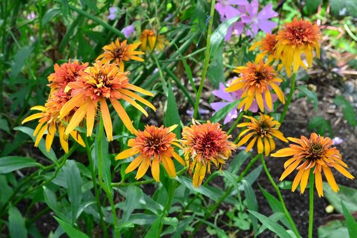 科名:キク科 開花期:6~10月 分類:多年草 エキナセアは咲き進むにつれ花芯が大きく盛り上がってくる、キク科の多年草です。草丈は1m以上になるものもあり、花壇のなかで存在感を放ちます。