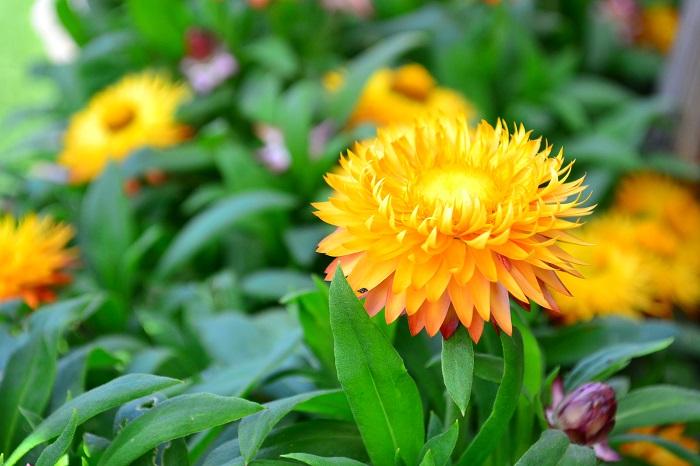 科名:キク科 開花期:6~10月 分類:一年草 ヘリクリサムは開花中からドライフラワーのようにカサカサとした手触りがおもしろいキク科の花です。
