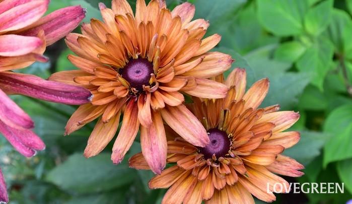 ルドベキアはキク科の丈夫な一・二年草、または多年草で、最近はとても品種が豊富になってきました。性質がとても丈夫で、夏の暑さにも負けずたくさん咲くので夏のガーデニングにおすすめの素材です。