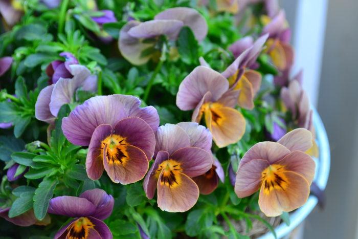 冬の花壇に欠かせない、パンジー、ビオラの花。寒い冬の間咲き続け、5月くらいまで花を楽しめます。花色のバリエーションが豊富なのも魅力です。