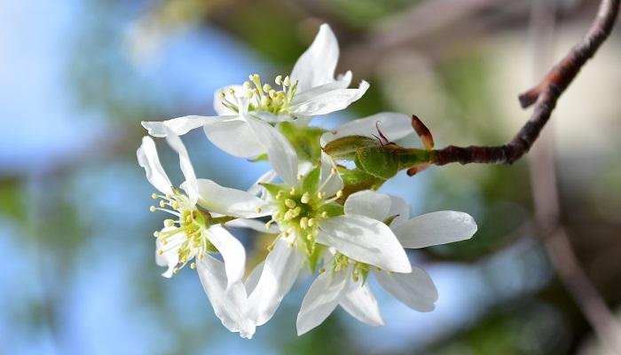 開花期:3~4月 分類:落葉高木 樹高:3~5m ジューンベリーの特徴 ジューンベリーは、初夏に真赤に色付く果実が有名ですが、春に咲く白い花も可愛らしい落葉高木です。ソメイヨシノより少し早いか同じ頃に直径2㎝程度の可愛らしい花を咲かせます。