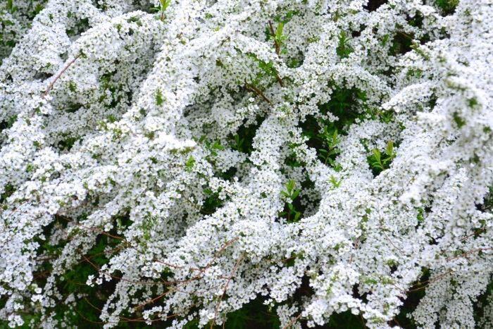開花期:3~4月 分類:落葉低木 樹高:1~2m ユキヤナギの特徴 ユキヤナギは、初春に真白な花を咲かせる落葉低木です。しなるように伸びた枝いっぱいに真白な小花を咲かせます。ユキヤナギの花は風で散る姿も儚く美しく、まだ花の少ない初春に私達の目を和ませてくれます。