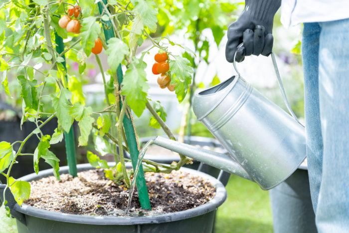 日中の水やりは避ける カンカン照りになるような猛暑日は、気温の低い朝か夕方に水やりをするようにしましょう。真昼の暑い時間帯に水やりをすると、土中の温度も上昇しているため、根をお湯に浸しているような状態になってしまうので要注意!