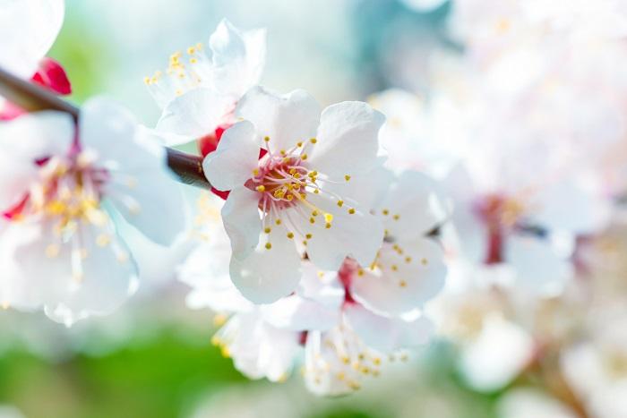 開花期:3~4月 分類:落葉高木 樹高:3m アンズの特徴 アンズは春に白やピンクの花を咲かせる、バラ科の果樹です。大きくなり過ぎないので庭木としても人気があります。アンズの果実は生食もできますが、ジャムや果実酒などにも利用されます。
