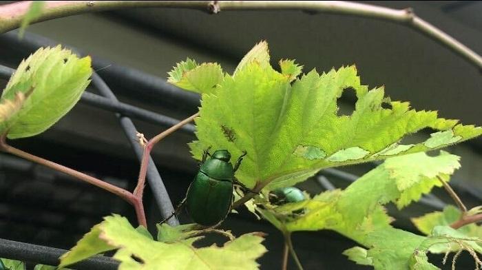 葉に食べられた後があったり、直径3mm程度の黒い糞がある場合はコガネムシの成虫がいる可能性があります。鉢や庭の土がふわふわ、こんもりとなっており、まるで小さいモグラでもいるのかな?という状態の場合は成虫が土の中に潜って卵を産み付けているかもしれません。