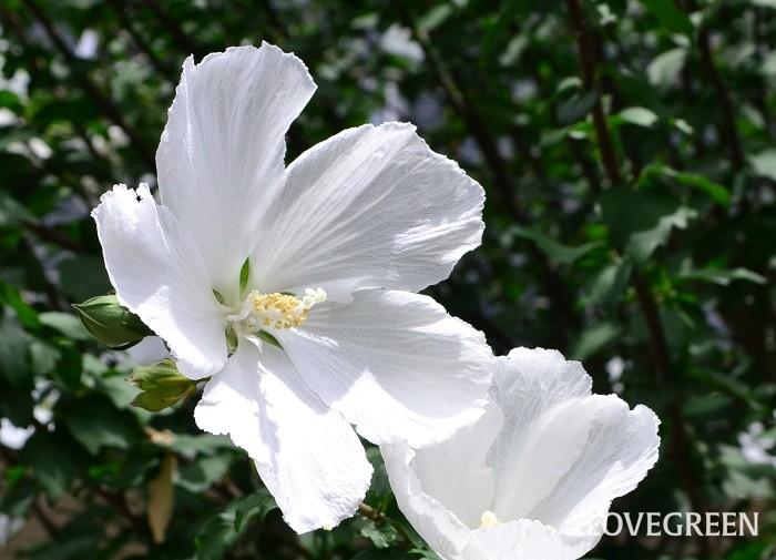 ムクゲは梅雨のころから開花しますが、フヨウの花は早くても7月下旬ころ、盛りは8月以降の真夏の花です。