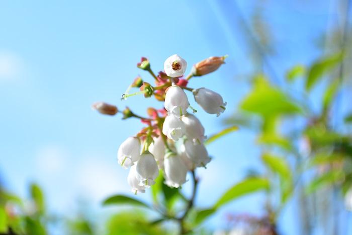 開花期:4月 分類:落葉低木 樹高:1~3m ブルーベリーの特徴 ブルーベリーは、ツツジ科スノキ属に分類される北アメリカ原産の落葉低木で、木があまり高くならないので育てやすい果樹のひとつです。春に白い花が咲いた後、初夏から夏にかけて実が実ります。
