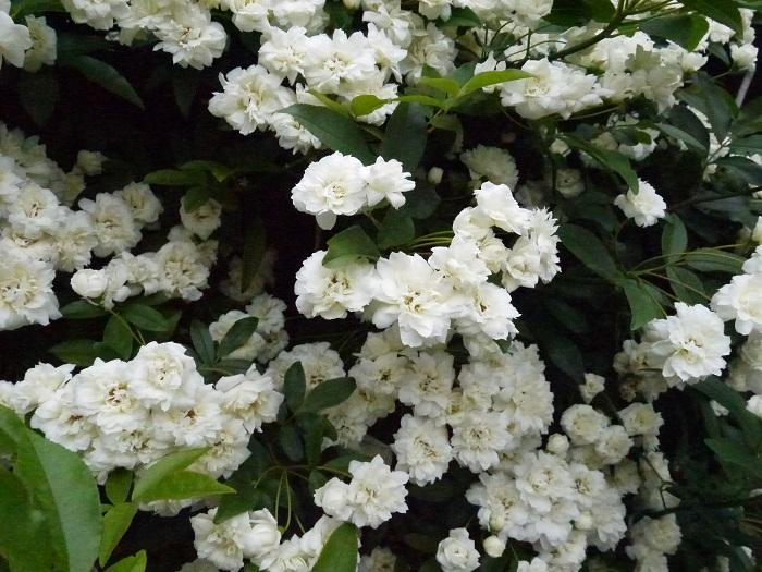 開花期:4~5月 分類:落葉低木 樹高:2~5m モッコウバラの特徴 モッコウバラはバラの中でも病害虫に強い原種系のバラです。花の大きさは2~3㎝と小さめですが、枝の先に房状にたくさんの花を咲かせます。  カスタード色の花を咲かせるモッコウバラ・ルテアが有名ですが、白花のモッコウバラ・アルバもきれいです。