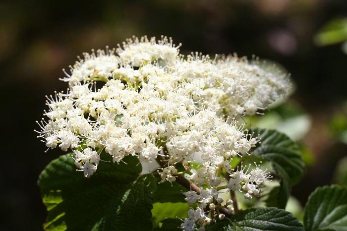 開花期:3~4月 分類:落葉高木 樹高:3~5m ガマズミの特徴 ガマズミは春に白い小花の集合体を枝の上の方に咲かせます。春に咲いたガマズミの花は秋には赤く結実します。少し酸味のある果実は果実酒などに利用されます。