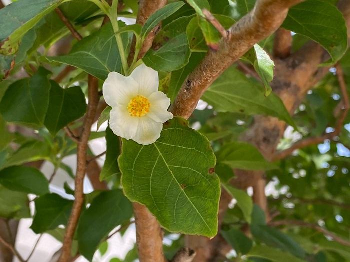 開花期:5~6月 分類:落葉高木 樹高:10~15m ヒメシャラの特徴 ヒメシャラは別名夏椿とも呼ばれる、初夏に椿に似た白い花を咲かせる落葉高木です。ヒメシャラは樹形の美しさも人気で、庭木の他、公園や寺社にもよく植えられています。