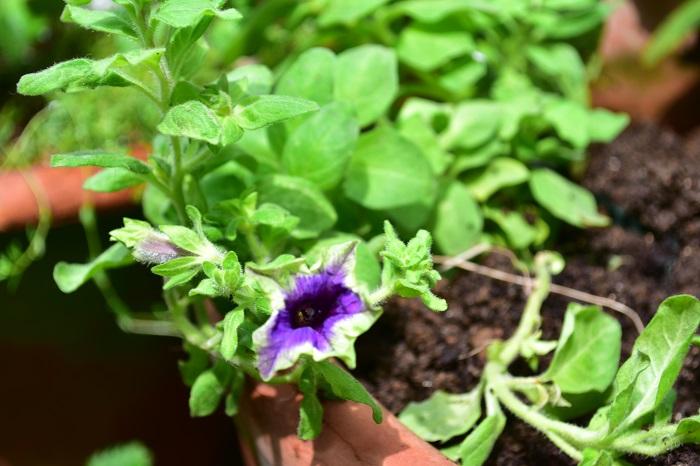 ペチュニアは夏から秋まで咲き続ける花です。ペチュニアの切り戻しは、花数が減ってきたと感じたら行います。