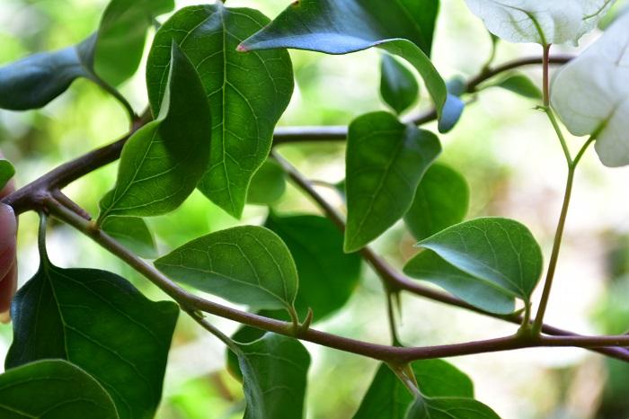 ブーゲンビリアの茎にはトゲがあるのが特徴です。品種にもよりますが、トゲの数はそれほど多くはありません。それでも刺さると痛いので、誘引や剪定の際には必ず手袋を着用し、怪我の無いようにしてください。