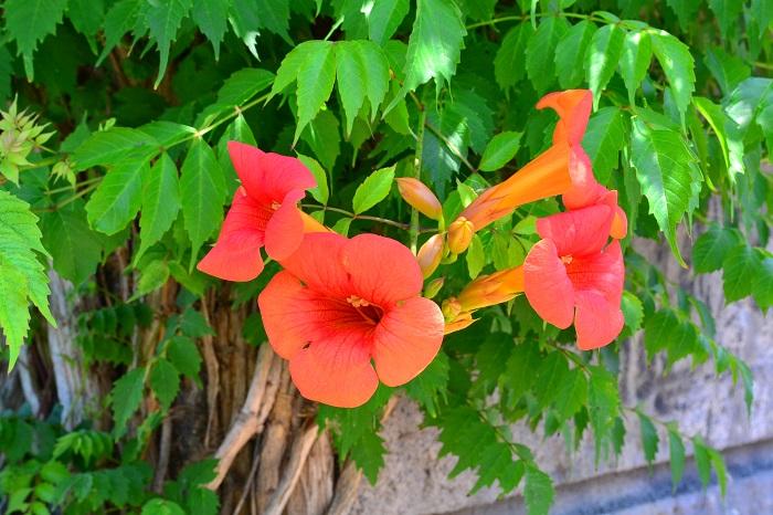 ノウゼンカズラの花が咲く季節は夏。ノウゼンカズラは盛夏の強い陽射しの下で、オレンジや赤の鮮やかな花を咲かせます。ノウゼンカズラの花はラッパのような形状で、枝の先に大きな花をいくつも咲かせます。
