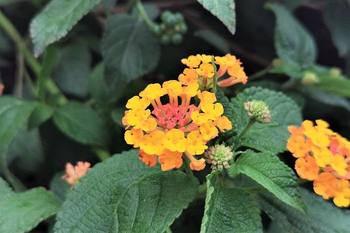 オレンジ の 花 雑草