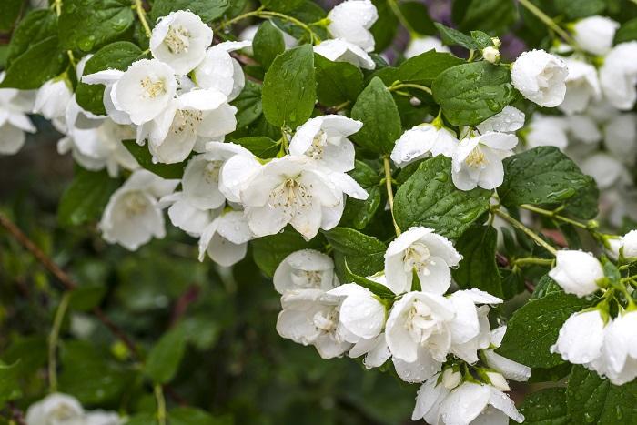 開花期:5~6月 分類:落葉低木 樹高:2m バイカウツギの特徴 バイカウツギは初夏に真白な花を咲かせる落葉低木です。名前の通り、梅に似た花を咲かせます。和の庭にも洋の庭にも似合う庭木です。
