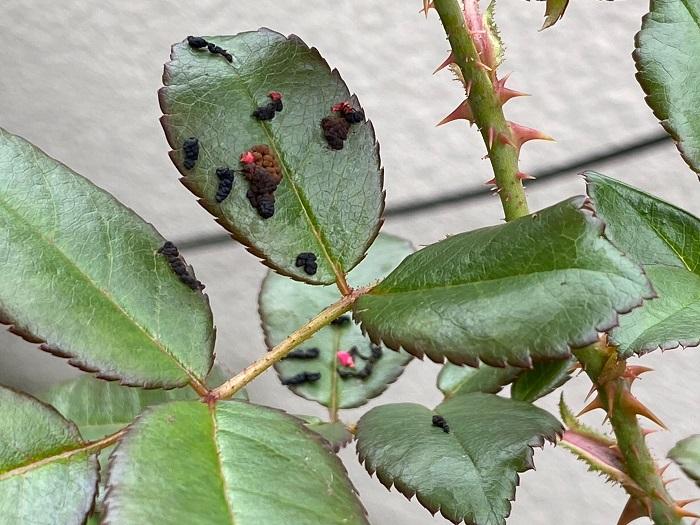 葉の食害の場合はある程度回復しますが、糞などが残っているとそのフェロモン臭に成虫が集まってきてしまうので、糞は取り除いた方がよいでしょう。また、幼虫に根を食べられてしまうと、養分の吸収が出来なくなって生育が悪くなり、大発生すると、苗だけでなく樹木でも枯れることがあります。