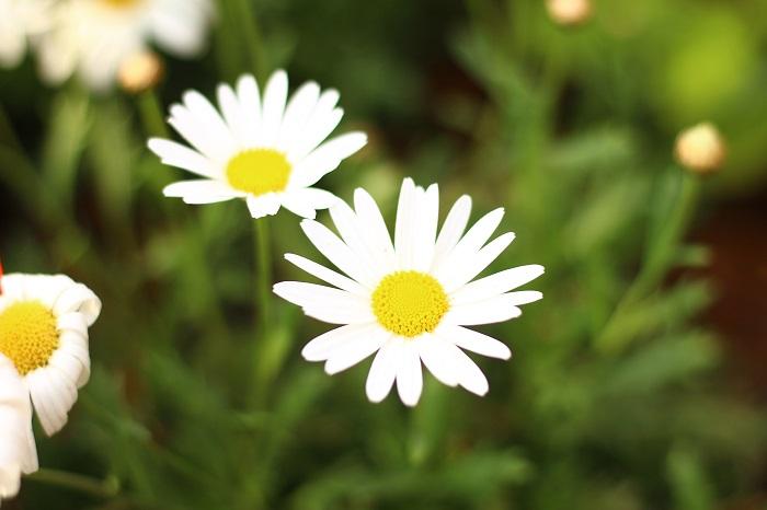 マーガレットは梅雨前と、秋の花後に半分くらいまで切り戻します。梅雨前に切り戻しを行うことで、秋の花数を増やします。また、秋の花後に切り戻しをすると枝数が増えるので、翌春にたくさんの花を楽しめます。