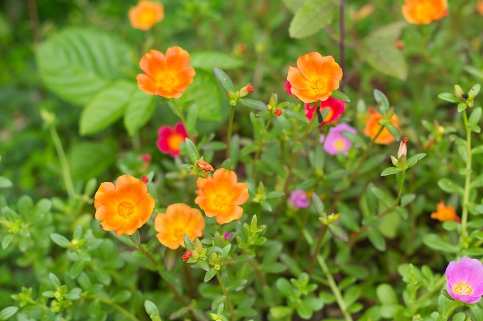 科名:スベリヒユ科 開花期:6~9月 分類:一年草 マツバボタンは分岐しながらほふくして横に広がっていく一年草です。オレンジ色やピンクの明るい色の花を咲かせます。