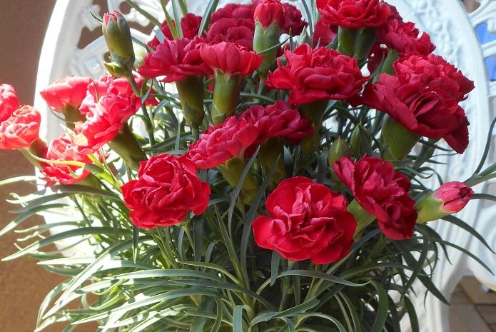 カーネーションは四季咲き性の植物です。カーネーションの切り戻しは季節問わず、花後と花が咲かなくなってしまった時に行います。地際から3~4節のところで切り戻すと2~3ヶ月で新しい花が咲き始めます。
