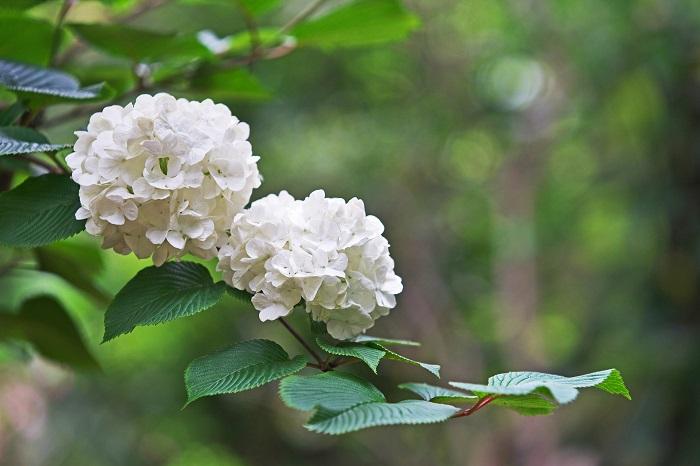 開花期:5~6月 分類:落葉高木 樹高:3~5m オオデマリの特徴 オオデマリは名前の通り、初夏に真白な毬のような花を咲かせる落葉高木です。咲き始めはグリーン、咲き進むにつれて白に変化していきます。