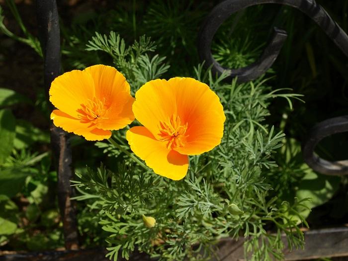 科名:ケシ科 開花期:4~6月 分類:一年草 ハナビシソウは別名カリフォルニアポピーともいい、春から初夏にかけて開花する一年草です。華奢な姿が可愛らしい花です。