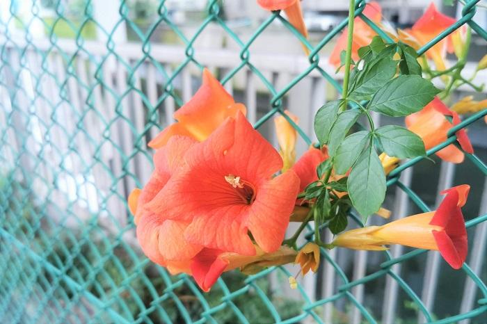 植物名:ノウゼンカズラ 学名:Campsis spp. 科名:ノウゼンカズラ科 属名:ノウゼンカズラ属 分類:木本性つる植物(落葉) 花期:7~9月 ノウゼンカズラの特徴 ノウゼンカズラの花が咲く季節は夏。ノウゼンカズラは盛夏の強い陽射しの下で、オレンジや赤の鮮やかな花を咲かせます。ノウゼンカズラの花はラッパのような形状で、枝の先に大きな花をいくつも咲かせます。  ノウゼンカズラは茎の節から細かい気根を出し、ラティスやアーチ、壁などに絡みついて生長していきます。夏になると民家の塀や垣根を乗り越えるようにして咲き誇る、色鮮やかなノウゼンカズラを見かけます。  ノウゼンカズラは夏の花ですが耐寒性が強く、冬は落葉して越冬するので、毎年花を楽しめます。