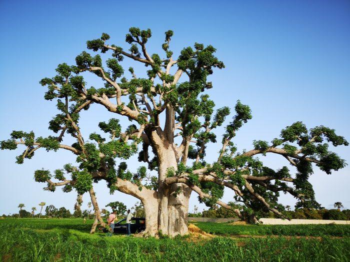 少し前の「植物紀行オーストラリア編」にて触れさせていただいたが、バオバブは世界に約11種存在すると言われ、そのうち1種である「アダンソニア・ディギタータ(「Adansonia digitata」)がアフリカ大陸中部中心に自生しており、西端の地が、ここセネガルである。今回はその1種類の紹介になるが、それぞれに表情が異なっていてユニークである。