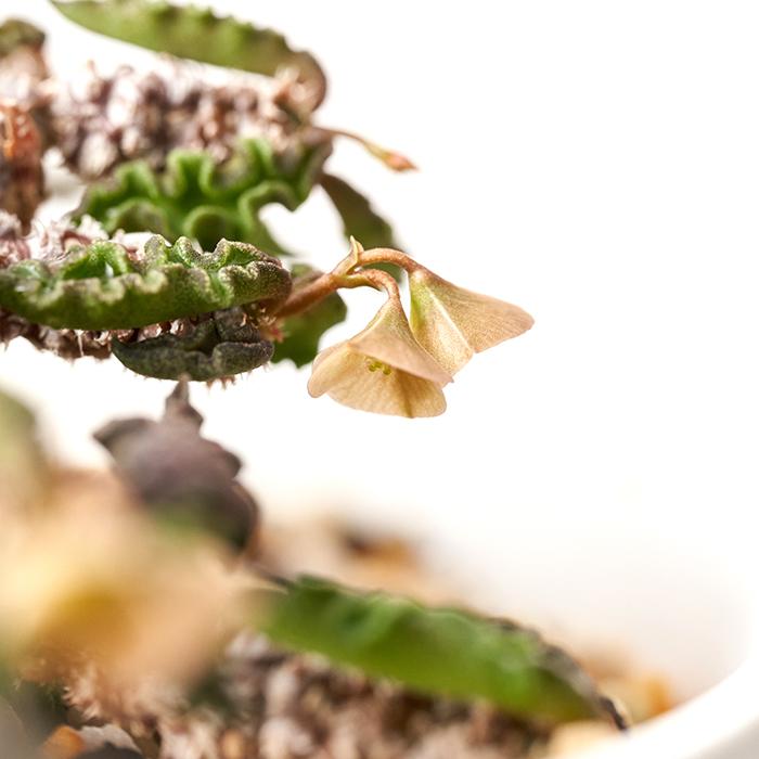 ユーフォルビア・デカリーはブラウンカラーの花を咲かせます。俯くように咲く花は趣があり、実に可愛らしいです。