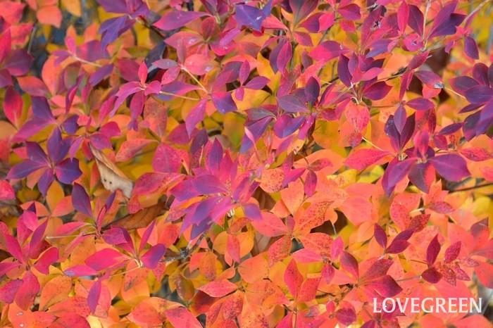 ドウダンツツジの紅葉は日当たりが悪いときれいに色付きません。紅葉を楽しみたければ、日当たりのよい場所で管理しましょう。