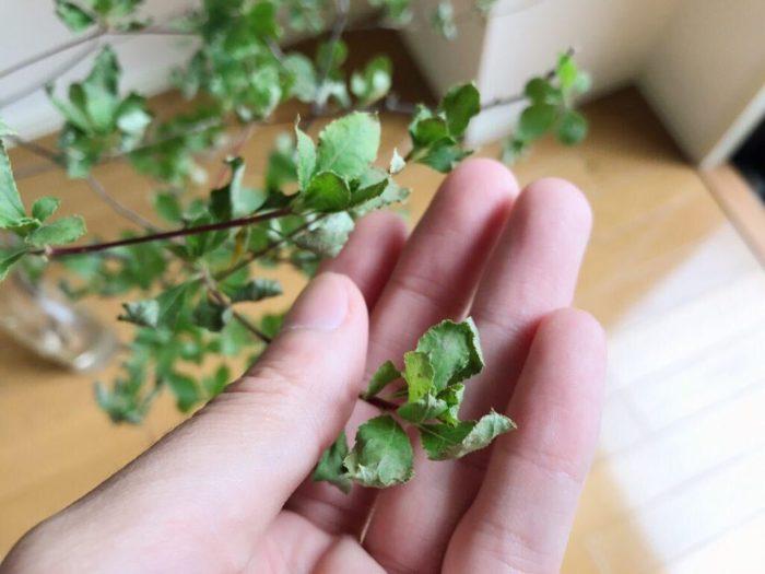 春から夏にはグリーンが瑞々しいドウダンツツジの枝が生花店の店頭に並びます。ドウダンツツジの枝は、乾燥しやすく、葉の先がチリチリと枯れたようになってしまうのが難点。