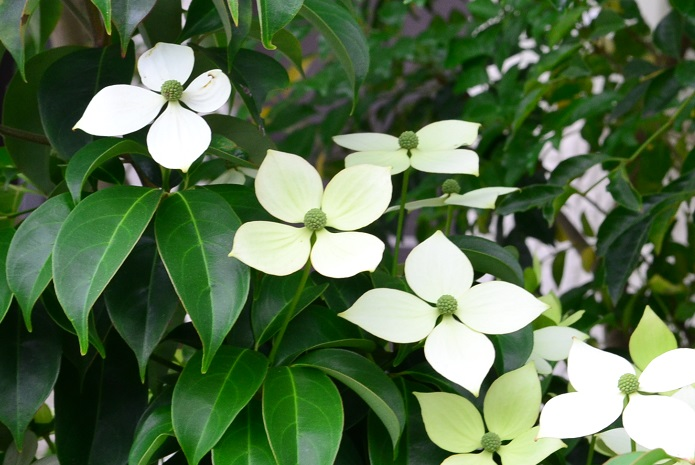 ヤマボウシは日本や中国の山野に自生している落葉高木です。  花の咲く時期:6~7月 花と葉の出るタイミング:葉が先、葉が茂ってから花が咲く 花(総苞片)の形状:先端が尖ったように突き出ている 果実:表面に凸凹があり、生食できる