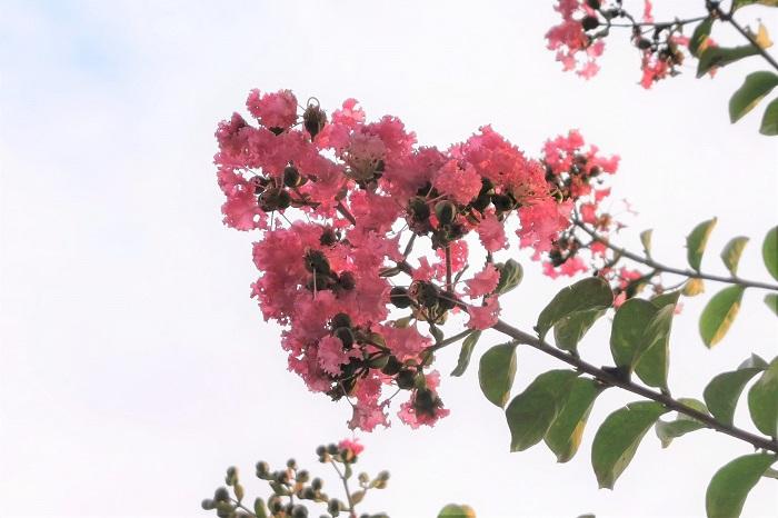 サルスベリ(百日紅)の花や実をじっくり観察したことはありますか?サルスベリ(百日紅)の花と実の特徴を紹介します。  サルスベリ(百日紅)の花咲く季節と花の特徴 サルスベリ(百日紅)の花が咲く季節は夏です。サルスベリ(百日紅)の花は非常に開花期が長く、6月から咲き始め、9月の終わりから10月初旬まで咲いています。  サルスベリ(百日紅)の魅力は何よりもその花です。よく見るととても変わった形をしています。サルスベリ(百日紅)の花は円錐花序(えんすいかじょ)といって、小さな花の集合体を枝の先に房のように咲かせます。  サルスベリ(百日紅)の花一つ一つをよく観察すると、縮れたようにくしゃくしゃっとした花びらが6枚付いています。さらに花びらの付け根は糸状になっています。この花の中心からしべが飛び出すようについているのが印象的です。  サルスベリ(百日紅)の実の季節と特徴 サルスベリ(百日紅)は秋の初め頃まで咲き続けた後に結実します。10月頃に確認できる実はまだ青く、つぼみかと見紛うほどです。熟すに連れて焦げ茶色に変化していきます。  11月頃に完熟するとほぼ黒というくらいの茶色に変わり、果実の先端から裂けて、中から小さな種が出てきます。サルスベリ(百日紅)の種は羽のような形状をしていて、風で飛んでいくようにできています。  種が飛び終わった実の殻はチューリップの花のような形をしていて、ドライフラワーにしても楽しめます。