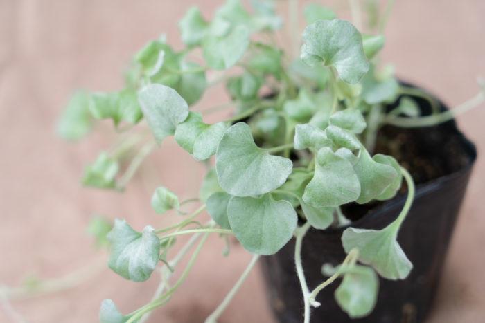 ディコンドラは、春か秋にポット苗を植え付けます。市販の草花用の培養土で問題なく育ちます。  お庭や花壇に地植えする場合は、植える場所をよく耕してから腐葉土を混ぜ込んで、水はけの良い環境をつくってから植え付けましょう。  また、ディコンドラの植え替えの適期は春です。株が生長してきゅうくつに混み合ってきたら、株分けを兼ねて植え替えを行います。  ディコンドラは、茎が伸びすぎてしまったら適宜切り戻しをして、風通し良く育てましょう。切り戻しをすることで生長も促進できます。冬の寒さで枯れてしまった地上部の葉や茎を刈り込んでおくと、春に新芽が美しく芽吹きます。