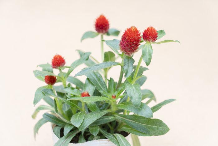 センニチコウは、その可愛い花姿(苞)が切り花やドライフラワーとしても好まれています。苞の色は紅紫色やピンク、赤、白などがあり、鮮やかな花色が長期間楽しめます。暑さや乾燥に強く、寒さに弱い一年草です。