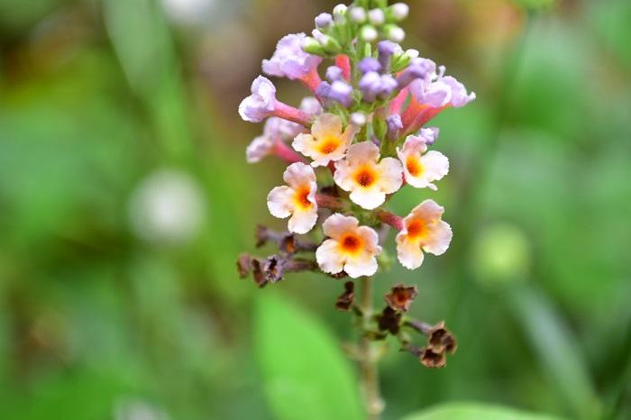花はいっぺんには咲かず、下の方から上に咲き進みます。上の花まで終わったら摘み取ります。夏~秋にかけての長い間、次々と開花するのでこまめに花がらを剪定しましょう。
