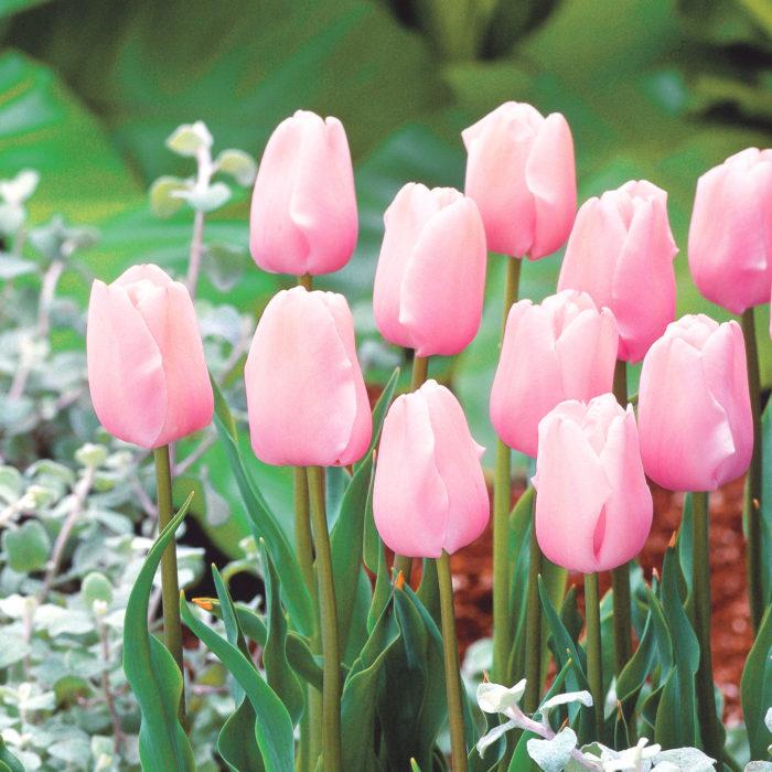 パステルピンクの愛らしい花は不動の人気品種! 満開になっても花が崩れにくく花持ちも抜群です。富山県花卉球根農業協同組合さんではWEBストア限定販売品種です。