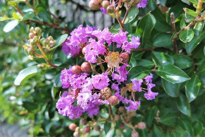 夏の真青な空の下で色鮮やかに咲き誇るサルスベリ(百日紅)の花。サルスベリ(百日紅)の花にはどんな色があるのでしょうか。サルスベリ(百日紅)の花色を紹介します。  赤 濃いピンク 淡いピンク 紫 白 複色 夏の太陽にも負けないくらい鮮やかなサルスベリ(百日紅)の花にはこんなにたくさんの色の種類がありました。さらに矮性種のサルスベリ'ペパーミント・レース'は、ピンクの花びらの縁に白い斑が入る絞り染めを見るような華やかさです。同じく矮性種のサルスベリ・バリエガタなど斑入り葉の珍種もあります。