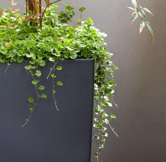 ディコンドラは、緑色の葉の「ミクランサ種」と、シルバー色の葉の「アルゲンテア種」があり、ミクランサ種は日本にも自生していて和名で「アオイゴケ」と呼ばれています。  緑葉のミクランサ種は、湿り気のある場所が好きで耐陰性もあります。丈夫であまり手がかからないので、お庭や花壇のグランドカバーとして多く使われています。