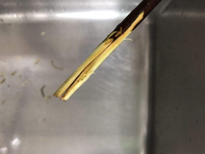 ドウダンツツジを美しく生けるには、長い枝先まで水を吸い上げさせることが大切です。ドウダンツツジの吸水力をアップさせるコツは、枝の切り口にハサミを縦に当てて、芯の部分を割るように切ります。この時芯の中心部分にきちんとハサミが当たっていると、気持ちがよいくらいにパカッと枝が割れます。この芯の部分を割ることで、内側からの水の吸い上げ力が上がります。